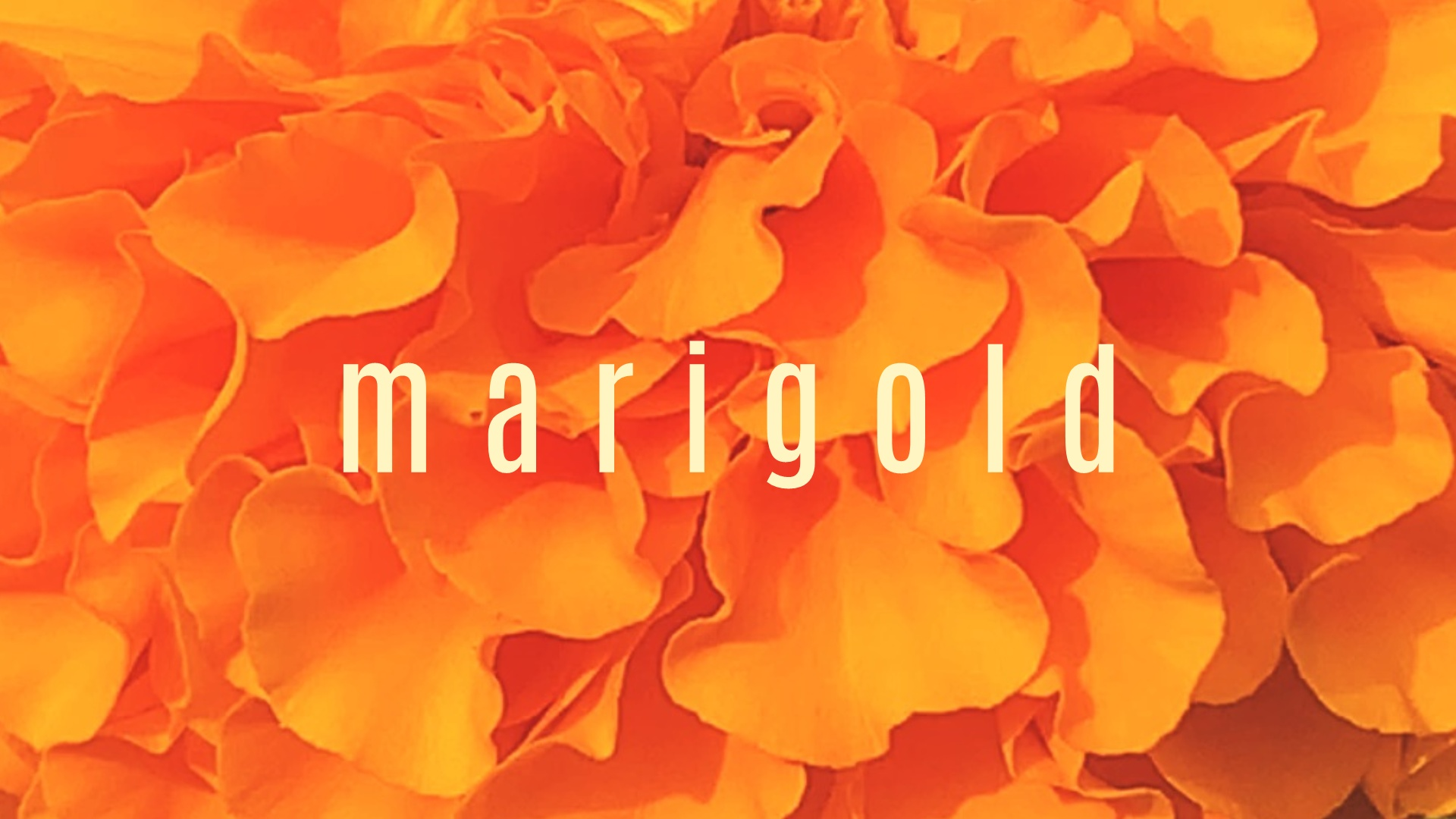 Ode to a Marigold