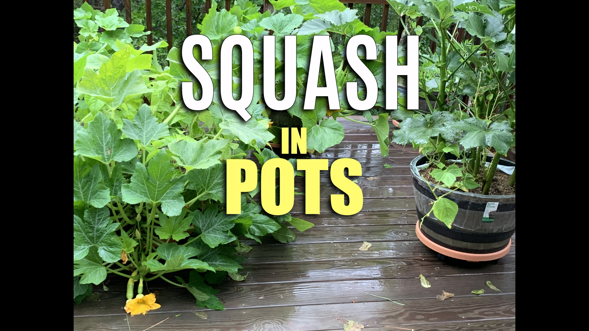 how to grow summer squash in containers